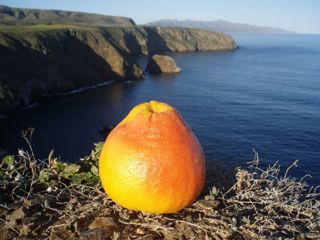 grapefruit in Channel Islands