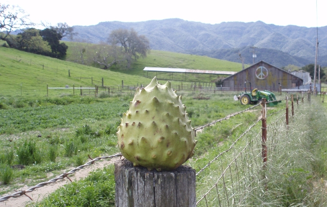 cherimoya in the Santa Ynez Valley