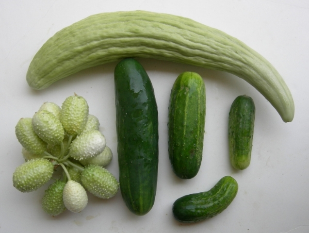 cucumbers-chico-062807h