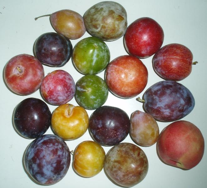 multiple varieties of stone fruit