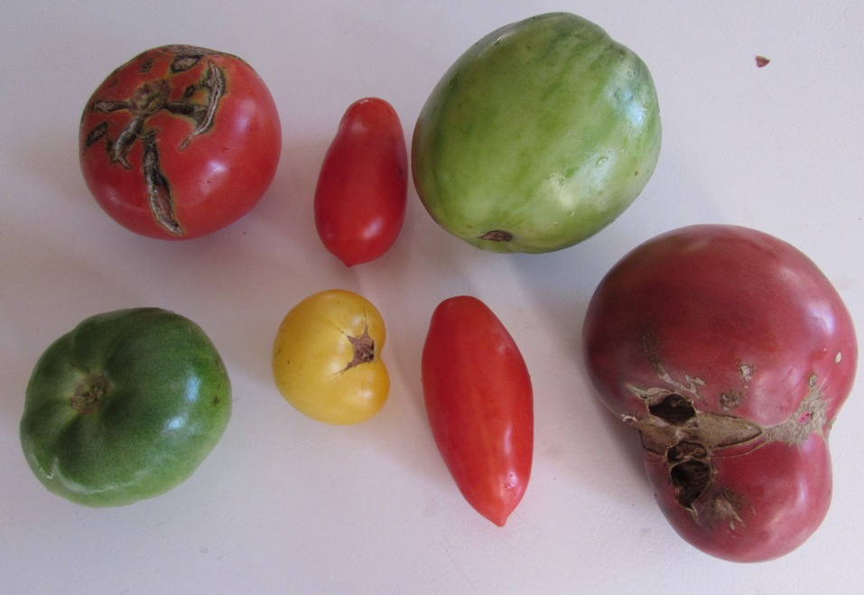 10-23-15 tomatoes.jpg